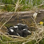 a nest of baby skunks