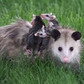 mother opossum with three babies on her back