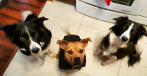 three cute dogs sitting on the kitchen floor looking up