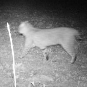bobcat caught on night vision camera