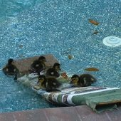 baby ducks in pool with towel ramp