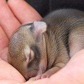 newborn cottontail rabbit