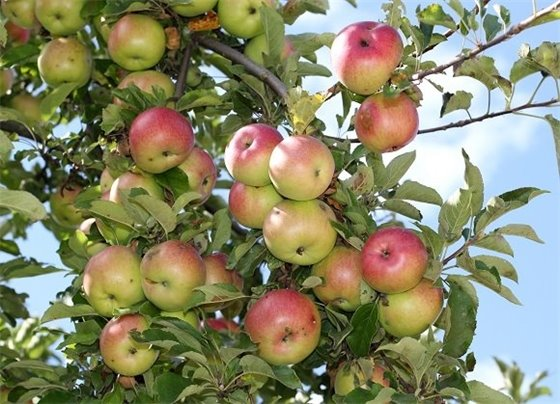 many ripe apples on tree branch