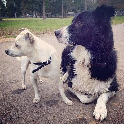 a white chihuahua and a black and white collie mix