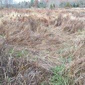 matted grass indicating deer bedding