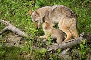an adult coyote with a pup