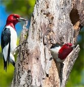 wood peckers in a tree