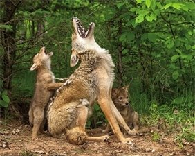 mother coyote teaching two pups to howl