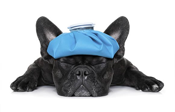 french bulldog with ice pack on its head