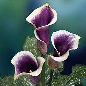 three purple calla lilies