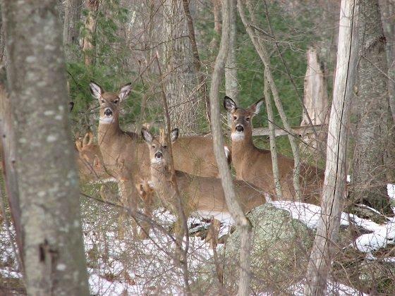 25 deer per square mile