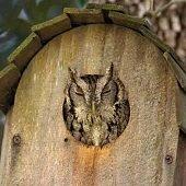 a screech owl sleeping in a birdhouse on a tree