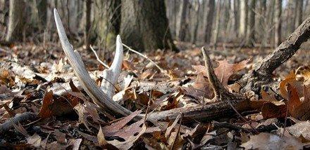 antler in leaf litter