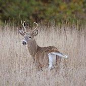 a buck in tall grass