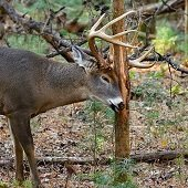 a deer rubbing its antlers on a tree
