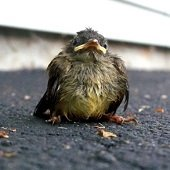 a fledgling bird on the ground looking really mad