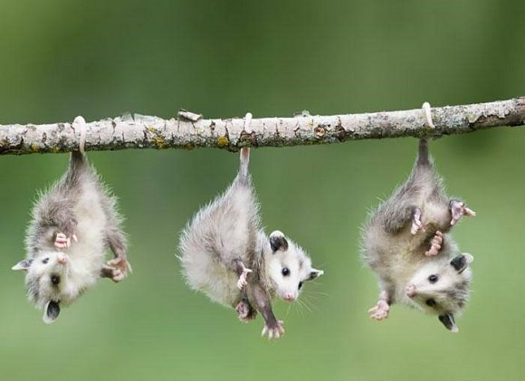 three baby possums hanging from a branch by their tails