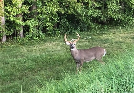 buck with antlers on the edge of a forest