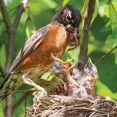 a robin feeding a nest filled with baby birds