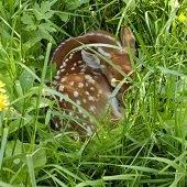 fawn hiding in tall grass