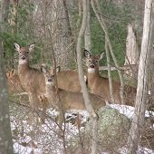 three deer in the woods