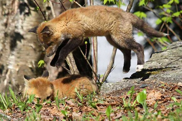 two red fox kits playing