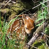 a fawn nestled in grass and moss