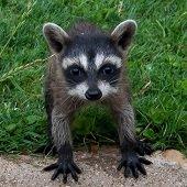baby raccoon looking up