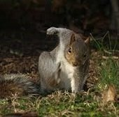 grey squirrel landing
