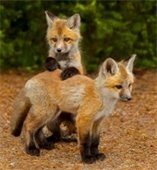 two red fox kits