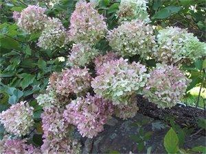 Hydrangeas in the Paine Garden