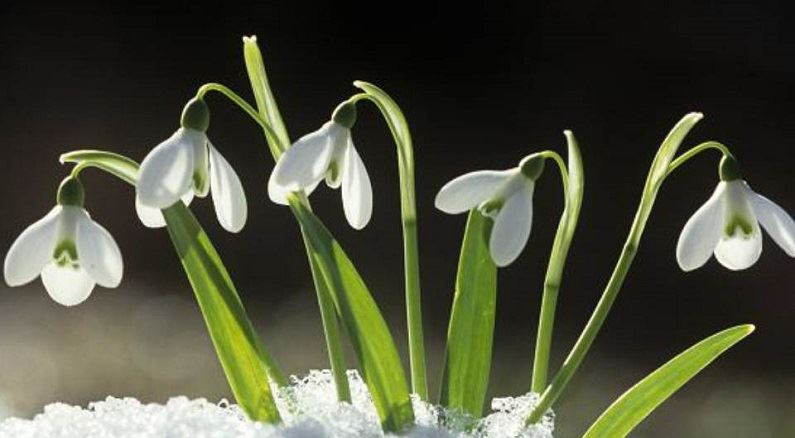 snowdrops coming up out of the snow