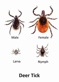 The different stages of a deer tick
