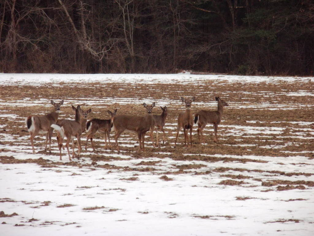 Deer Feeding in Field